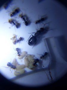 Hormigas tienda quillants