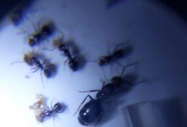 Colonia de hormigas Isis Mes Julio