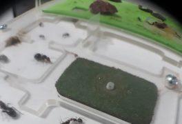 Cria de Camponotus, diario 12 de ago