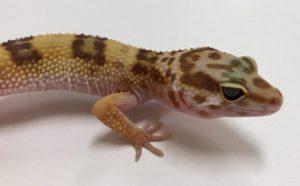geckos tienda quillants